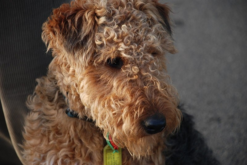800px-welsh_terrier_portrait_1
