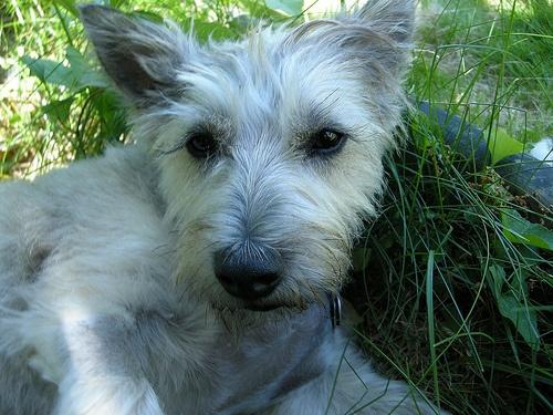 feknvo-cairn-terrier_width