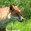 Ismét vakcinázzák veszettség ellen a rókákat