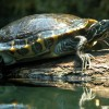 A vízi teknősök eltitkolt betegsége