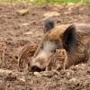 Több sertéspestisben elhullott vaddisznót találtak Budakeszin
