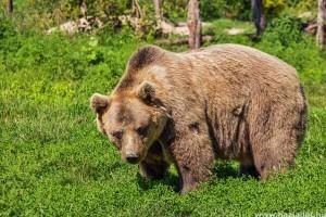 Ennyi medve él szabadon Romániában