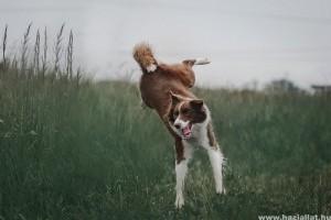A border collie, az egyik legjobban tanítható kutyafajta