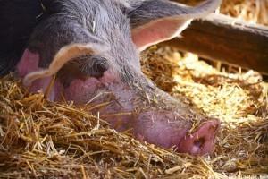 Megállító-e a sertéspestis járvány az ólak előtt?