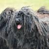 Magyar pásztorkutyák világtalálkozója Komáromban