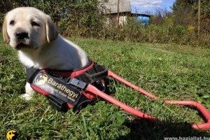 A legkisebb vakvezető kutyák - cuki fotók