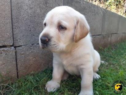 A legkisebb vakvezető kutya