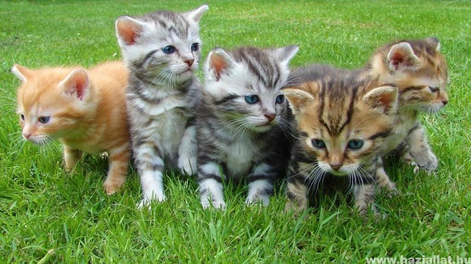 Hogyan védjük meg a kölyök macskát az élősködőktől?