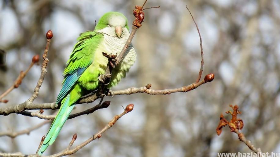 Papagájkolóniák veszélyeztetik Madrid őshonos madarait