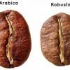Arabica és Robusta, a legismertebb kávéfajták