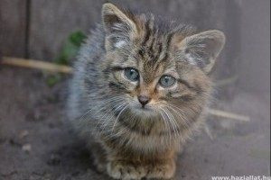 Gyönyörű kis vadmacskát találtak Barcs környékén