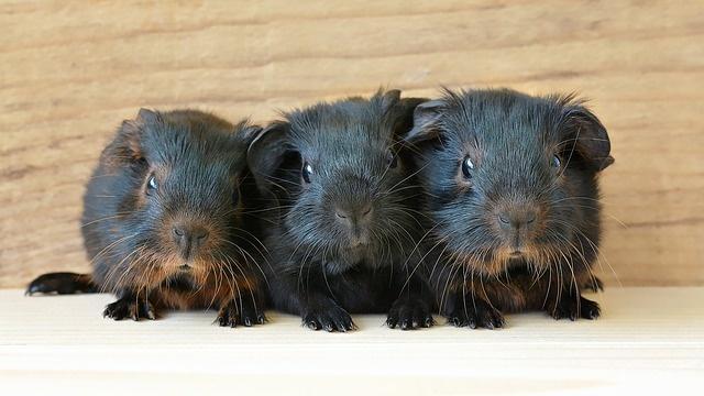 guinea-pig-849278_640