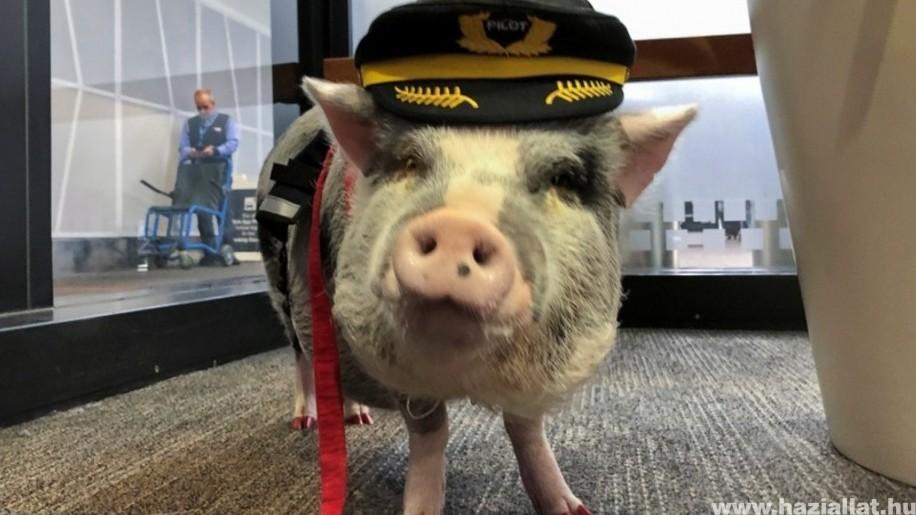 Terápiás malac fogadja az utazókat a repülőtéren