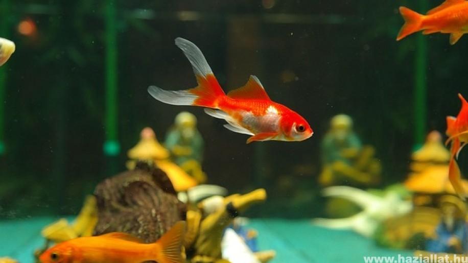 Az akváriumban egyszerre többféle halat is tarthatunk