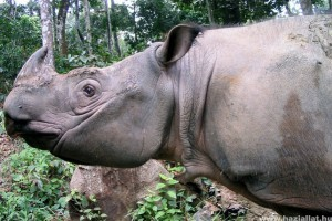 Elpusztult az utolsó szumátrai orrszarvú