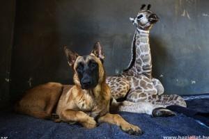 Furcsa barátság a zsiráf bébi és a kutya között