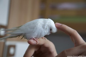 Mely papagáj fajok idomíthatók?