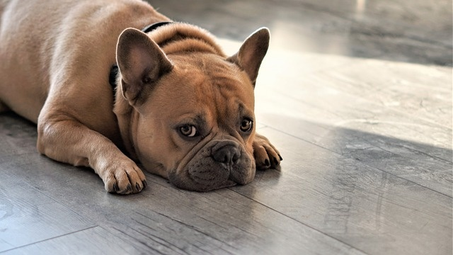 french-bulldog-4372435_640