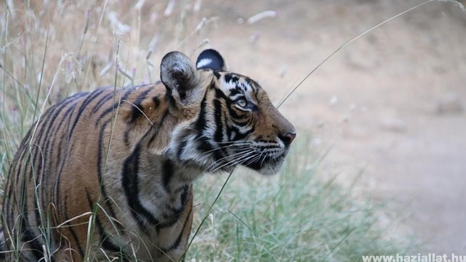 Rekord távot járt be egy tigris Indiában