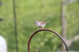 A klímaváltozás miatt csökken a madarak mérete