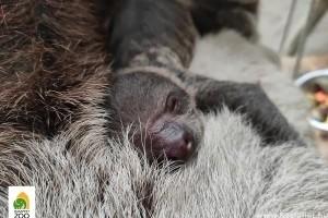 Cuki lajhárbébi született a Fővárosi Állatkertben