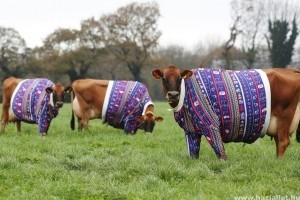 Házilag készült pulcsit kaptak a tehenek