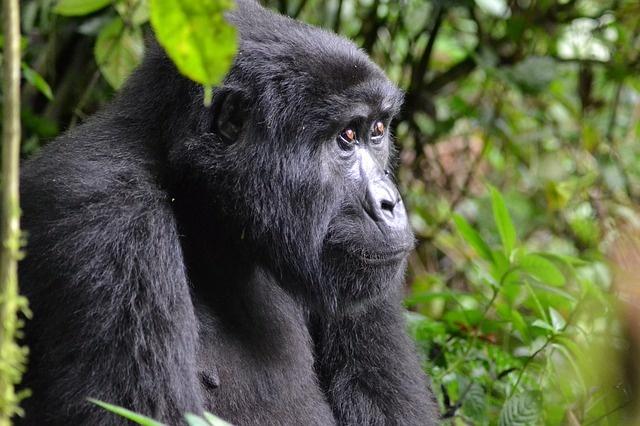 gorilla-3944127_640
