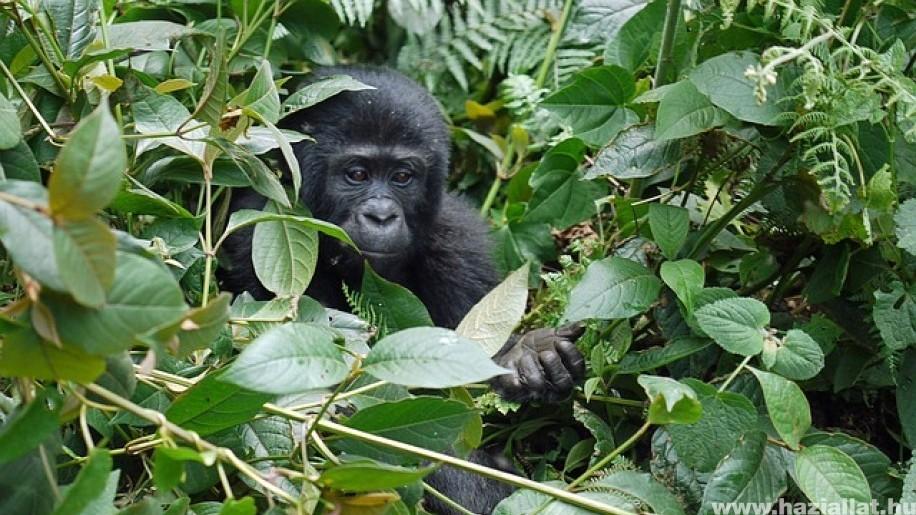 Nőtt a hegyi gorillák száma