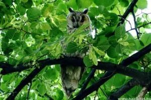 Az év madara 2020-ban az erdei fülesbagoly