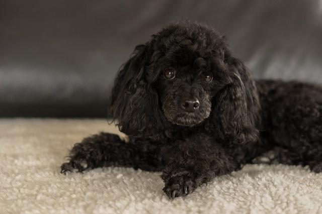 dwarf-poodle-black-3294512_640