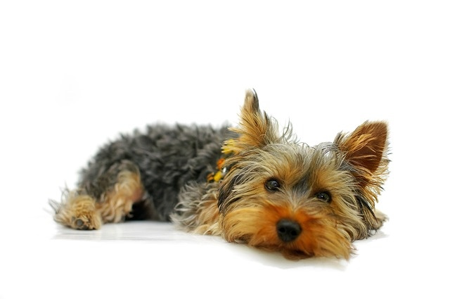 yorkshire-terrier-790362_640