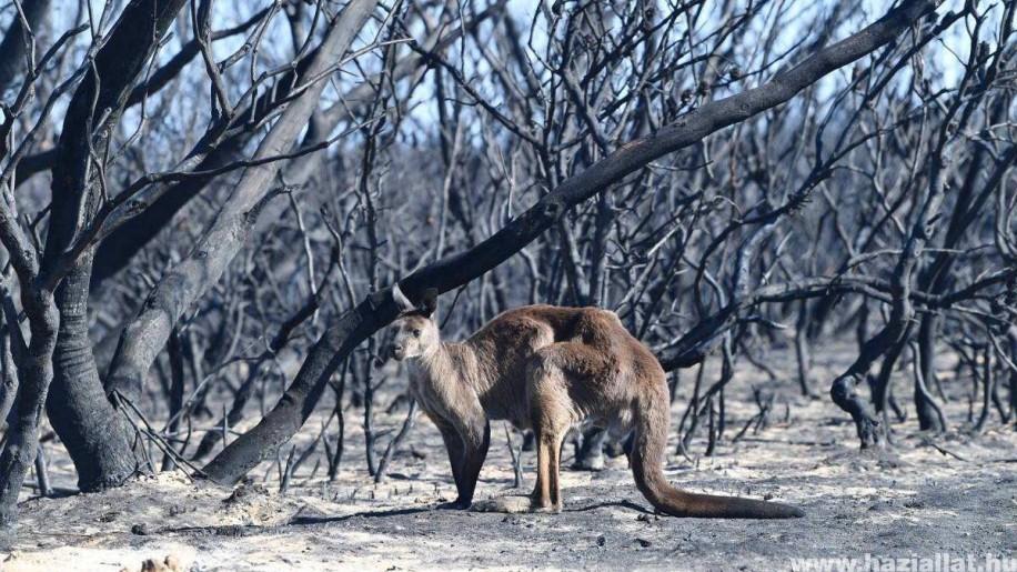 Helikopterről szórják az ételt a bajba jutott állatoknak Ausztráliában