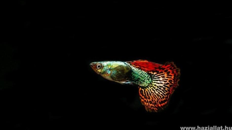 5 szép és népszerű akváriumban tartható halfaj