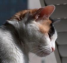 tricolor-cica