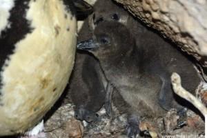 Kamerán figyelik a cuki pingvinfiókákat