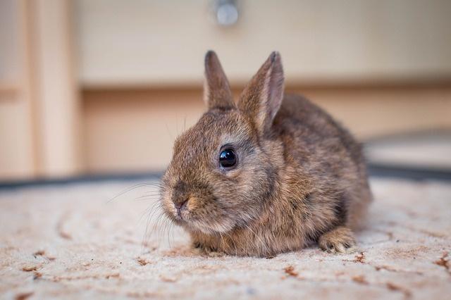 dwarf-bunny-2304450_640