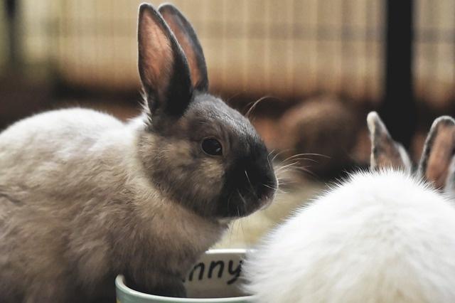 dwarf-rabbit-4745483_640