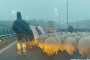 Autópályahídon terelte nyáját egy román pásztor