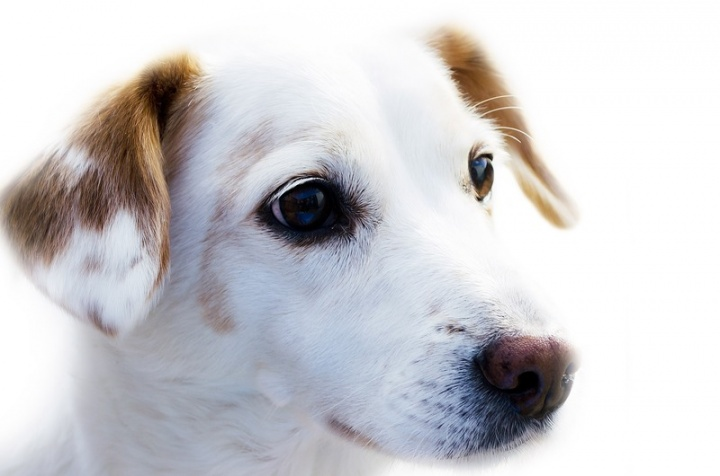hair-white-puppy-dog-animal-alone-1253336-pxhere.com