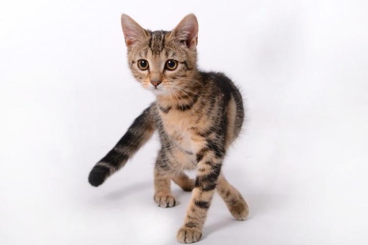 pet-kitten-cat-mammal-whiskers-savannah-893101-pxhere.com