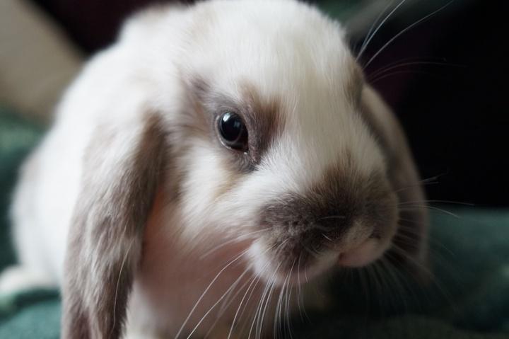 sweet-animal-cute-pet-mammal-rabbit-882804-pxhere.com