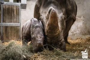 Cuki orrszarvú bébi született Veszprémben