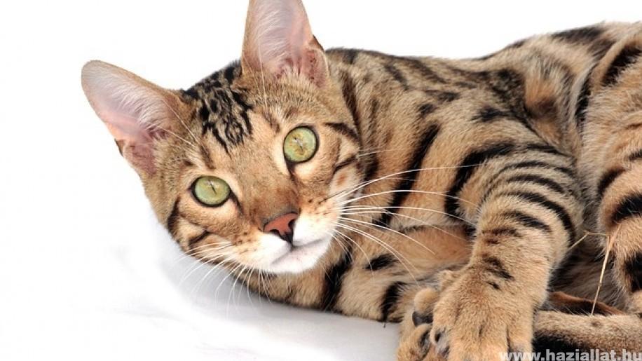 Milyen nevet adjunk a bengáli macskának?