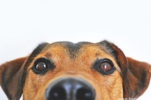 A kutya orra érzékeli az infravörös sugárzást