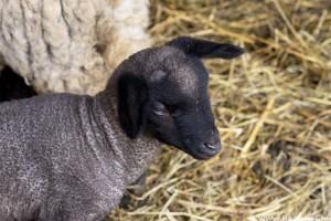 Cuki cigája báránykák simogathatók Debrecenben