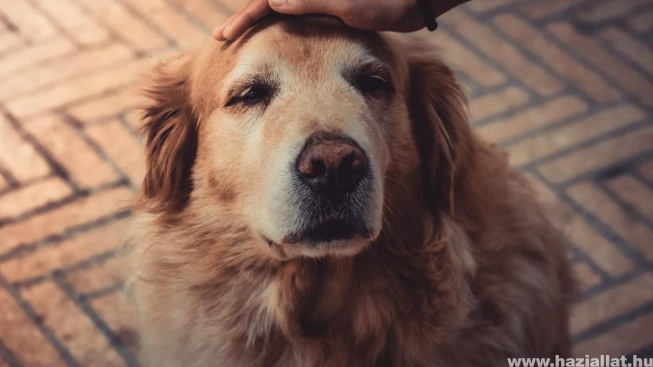 Demencia kutyáknál: okok és tünetek