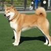Shiba-inu, a japán labdabolond kutya