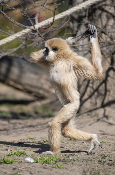 gibbon_allatkert_koronavirus