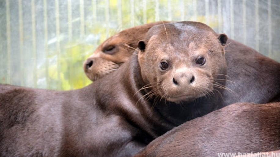 Öt óriásvidra kölyök született a Fővárosi Állatkertben