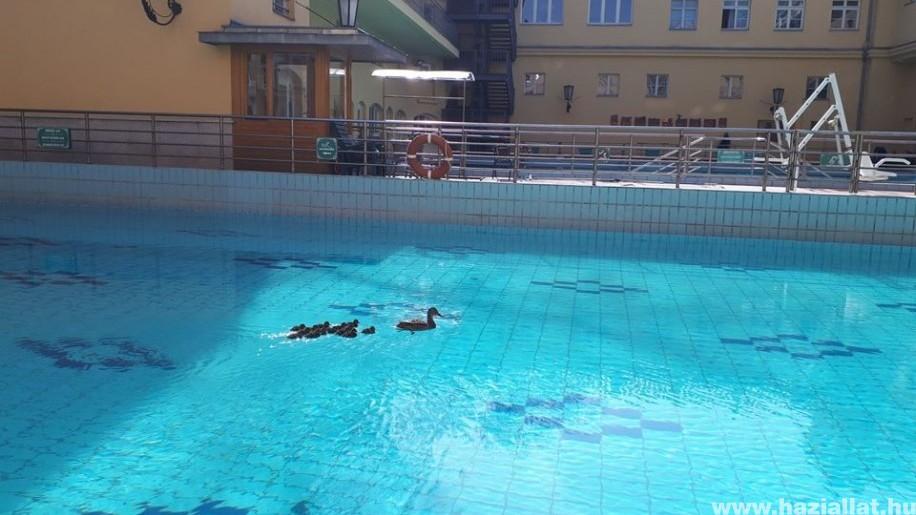 Kacsák úszkáltak a gyógyfürdő medencéjében